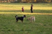 Appenzeller Sennenhund Rocky auf der Gib in Wiesbaden